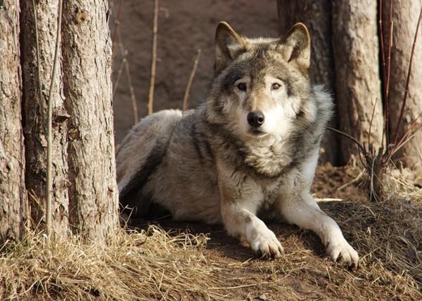 Так выглядит волкособ - служебный пёс волчьего происхождения