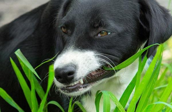 Трава помогает собаке справиться с запорами
