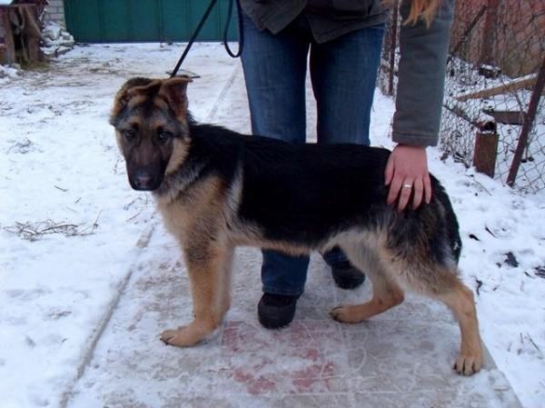 Трехмесячный щенок овчарки - мини-копия взрослой особи
