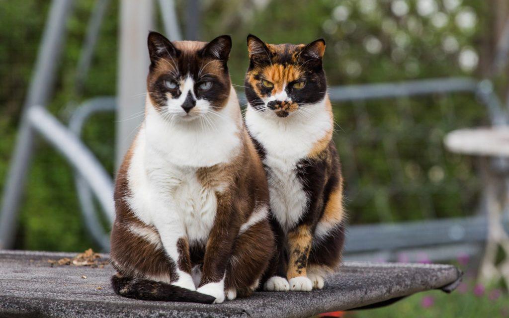 Трехцветный окрас характерен для некоторых пород, но чаще он встречается у обычных дворовых кошек