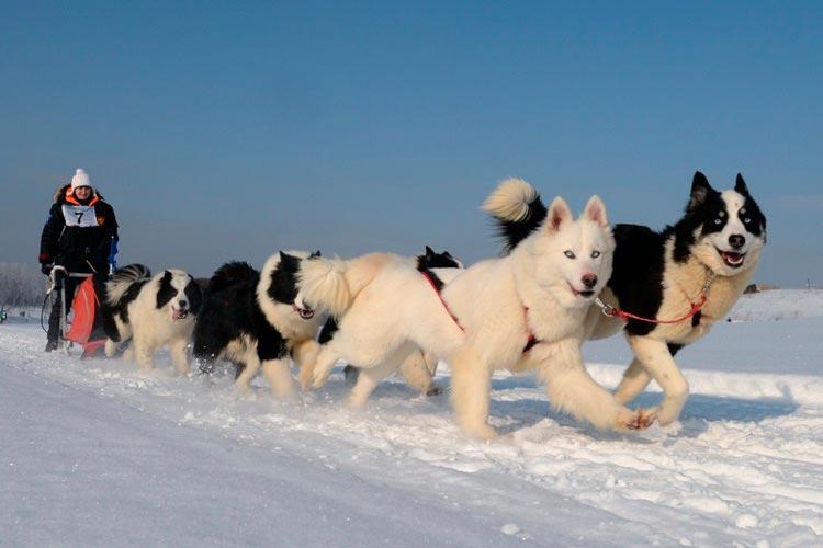 Упряжка якутских лаек