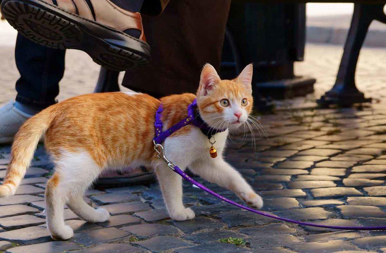 Устраивать кошкам прогулки следует исключительно на поводке