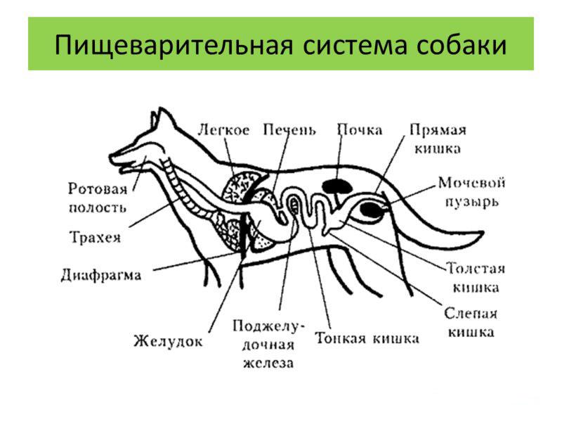Устройство пищеварительной системы собакиУстройство пищеварительной системы собаки