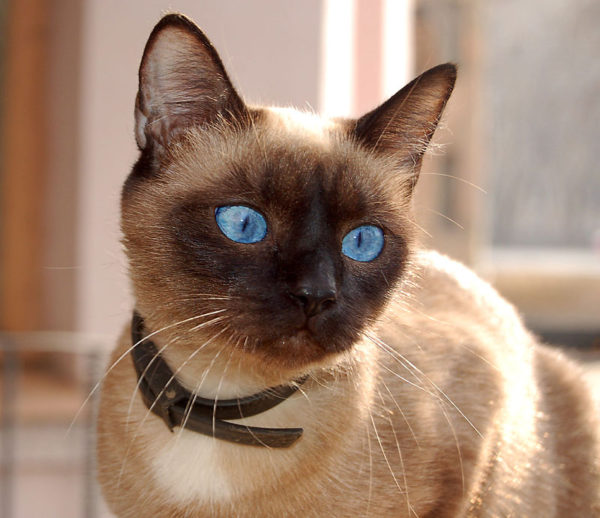 Уши сиамских котов не требуют особого ухода, однако профилактикой пренебрегать не следует