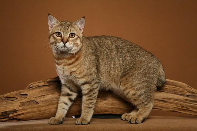 У искусственно выведенных пород кошек роды могут протекать тяжело