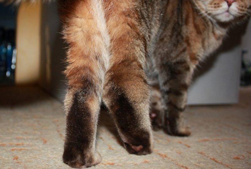 У кошки может появиться хромота