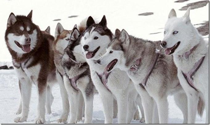 Хаски – не собаки-одиночки, им нужна компания