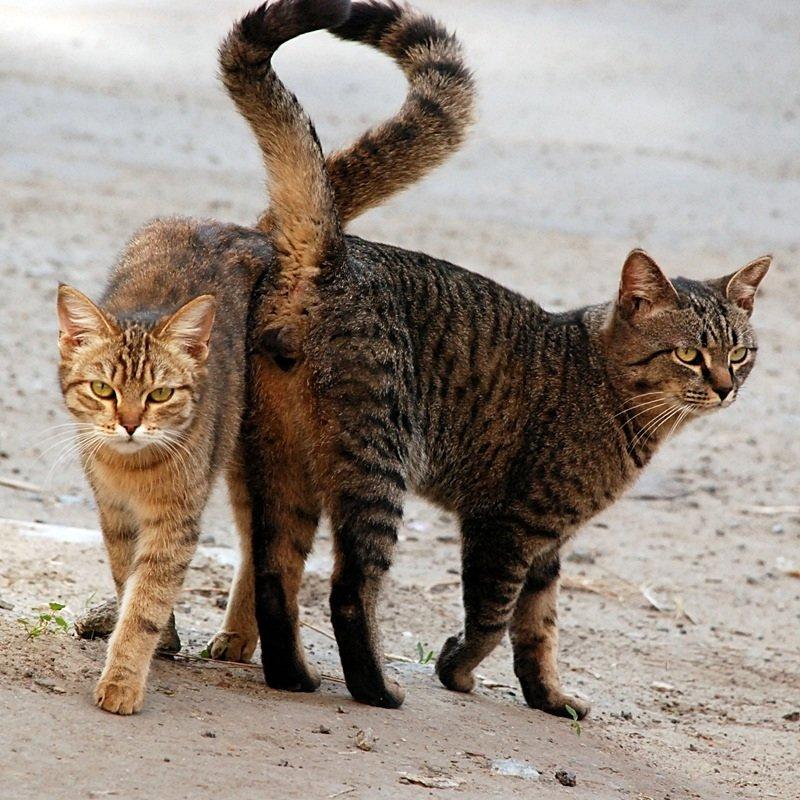 Хвост у кошек является продолжением позвоночника