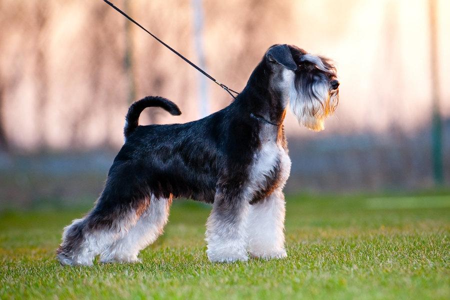 Цвергшнауцер бесстрашные и выносливые собаки