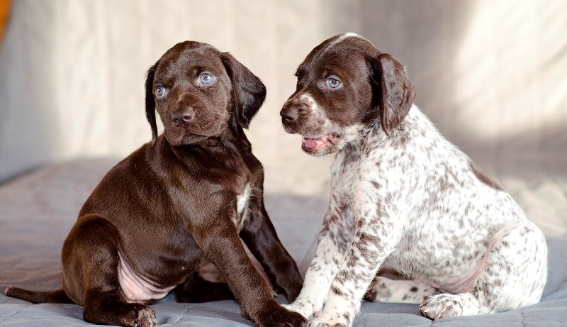 Цвет шерсти щенка зависит от цвета шерсти родителей