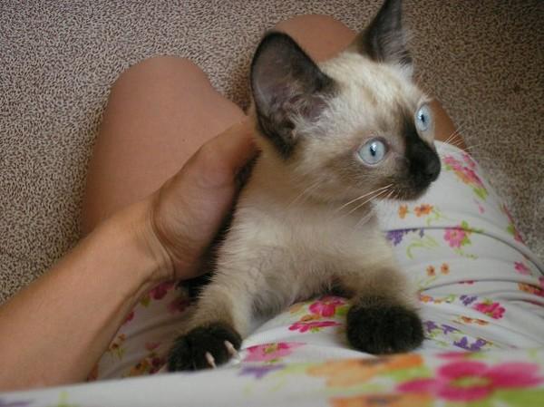 Часто котята первыми замечают потенциальных хозяев и идут с ними знакомиться