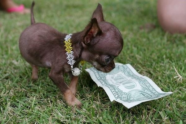 Чаще всего владельцы кобеля могут выбрать, чего они хотят: получить щенка или сразу взять деньги