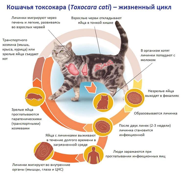 Чаще всего у кошек паразитируют круглые токсокары