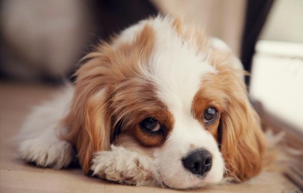 Чем меньше поводов для беспокойства будет у щенка, тем лучше он перенесет вакцинацию