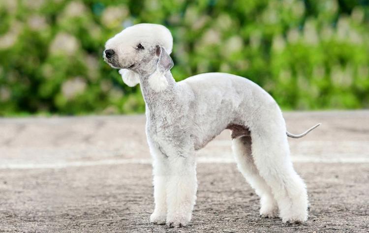 Чем меньше шерсти на собаке, тем меньше вероятность обострения аллергии у хозяина во время линьки