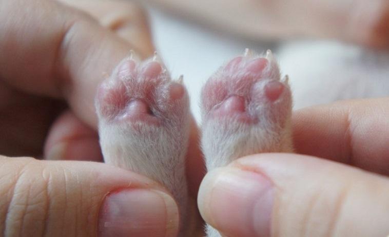 Чем раньше щенок привыкнет к стрижке когтей, тем легче она ему будет даваться в дальнейшем