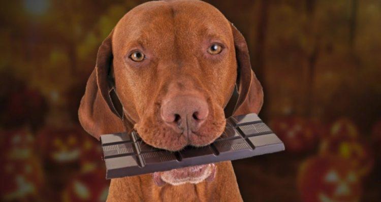 Чем чернее и натуральнее шоколад, тем он опаснее для собаки