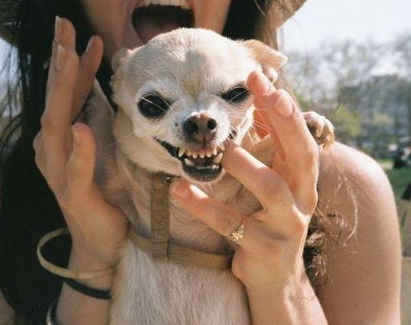 Чихуахуа готов наброситься на собаку любых размеров, потому на прогулках за ним нужно следить