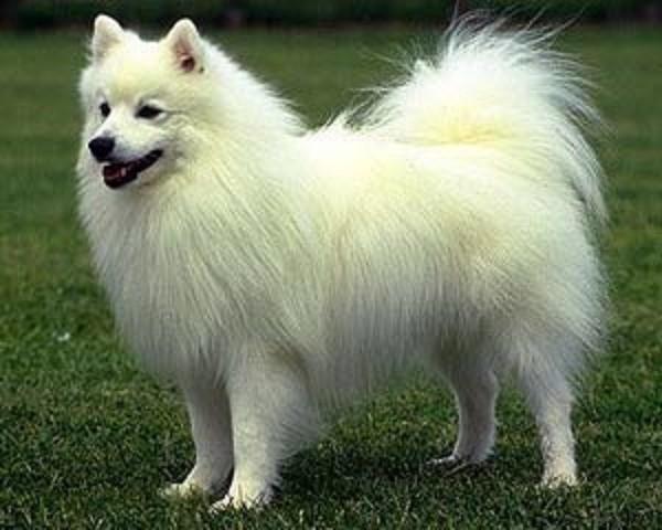 Шерсть - главная гордость собак этой породы