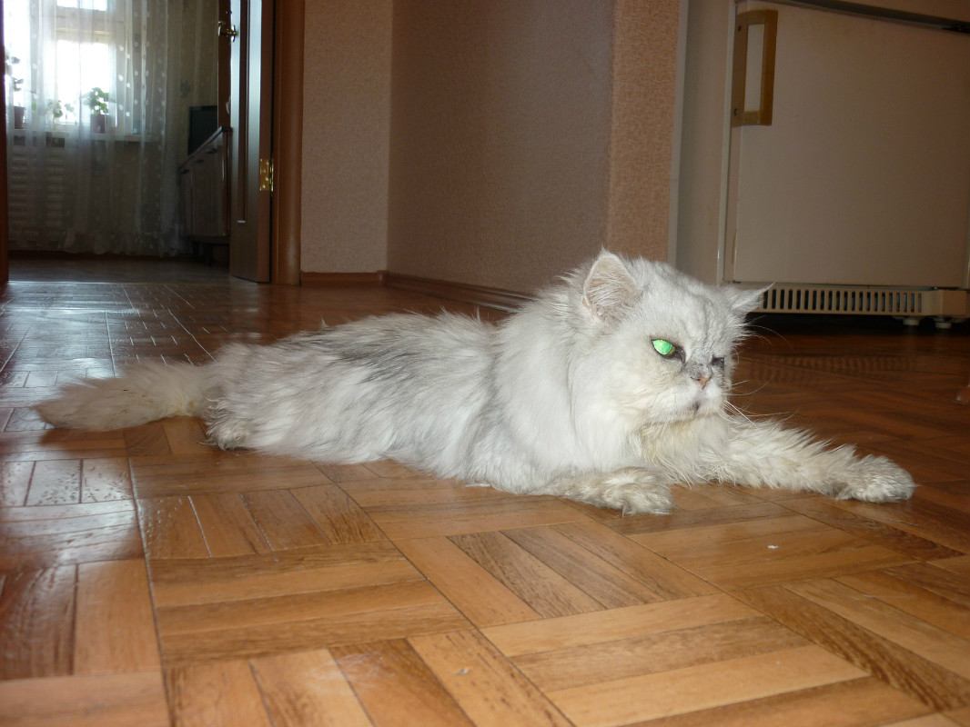 Шерсть пожилых котов теряет прежнюю шелковистость без должного ухода