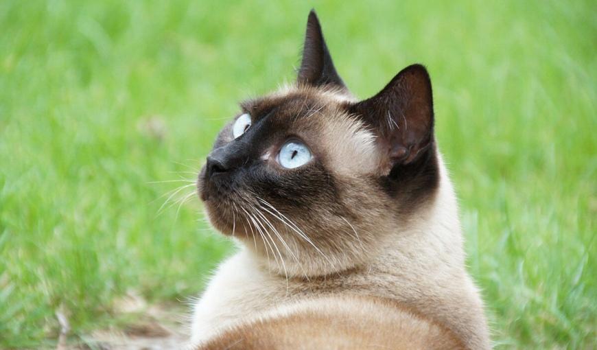 Шерсть сиамских кошек подстраивается под температурный режим, в котором они находятся