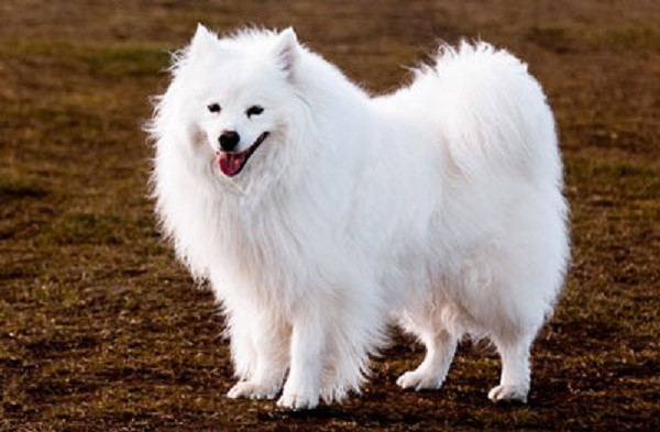 Шерсть этих собак не пропускает воду и отлично сохраняет тепло