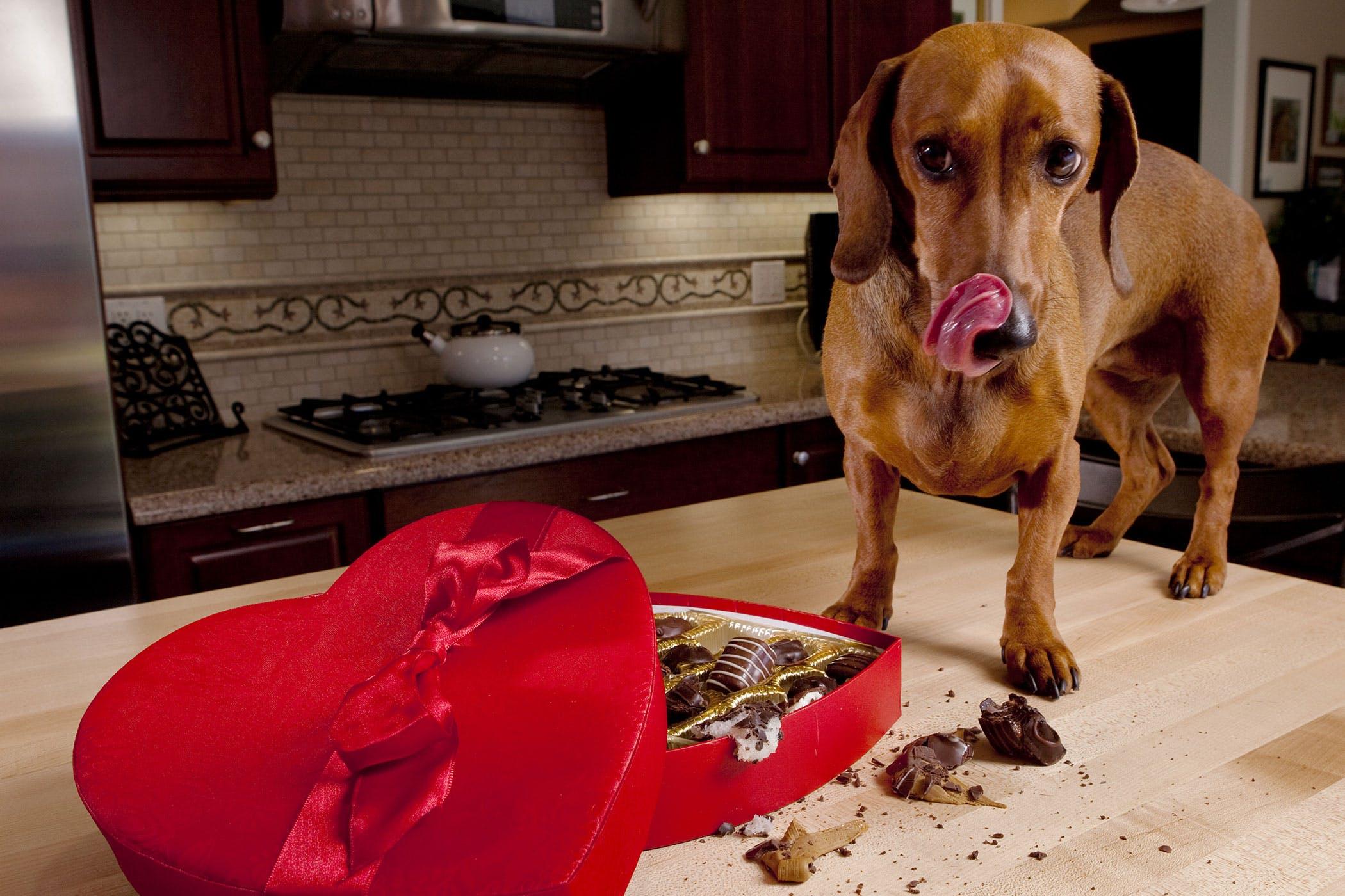 Шоколад необходимо тщательно прятать от собак
