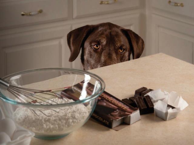 Шоколад содержит теобромин, который опасен для собак