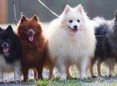 Шпицы очень общительные собаки, одиночество переживается ими болезненно