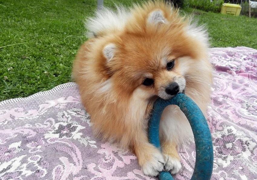 Шпиц любит вовлекать в свои игры различные предметы, потому хозяевам нужно отслеживать игрушки померанца