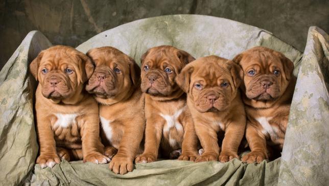 Щенки должны пройти социализацию не только в кругу своей семьи, но и в обществе посторонних собак