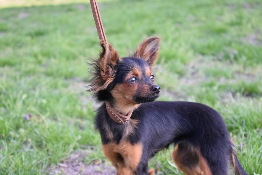 Щенки и взрослые собаки очень подвижны, обожают дальние прогулки и охоту на мелких грызунов