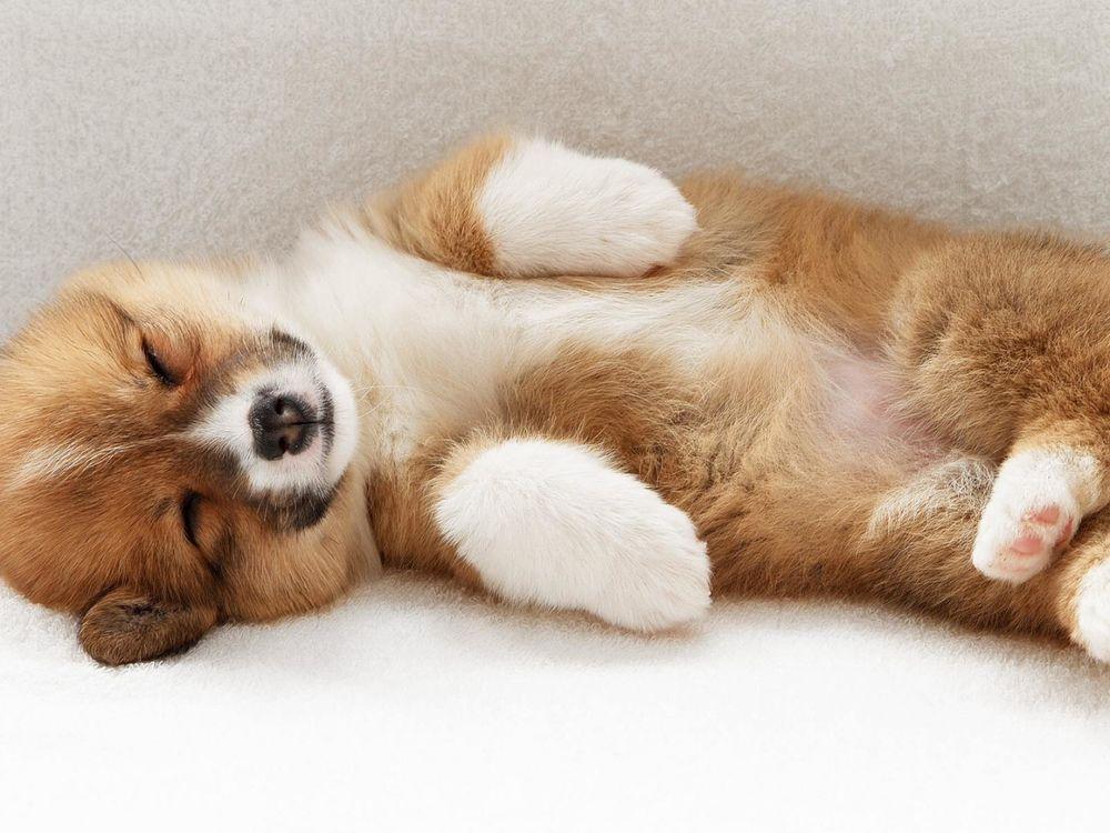 Щенок, оголяющий свой живот, демонстрирует зрелой собаке свою покорность и доверие