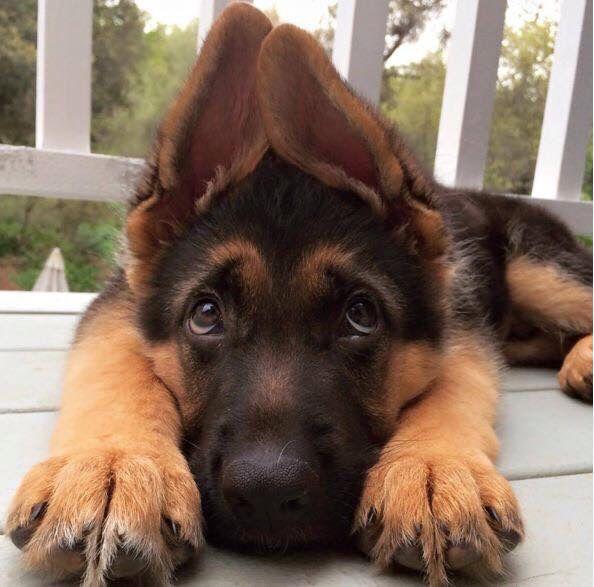 Щенок с ушами домиком