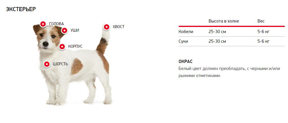 Экстерьер собаки джек-рассел-терьер