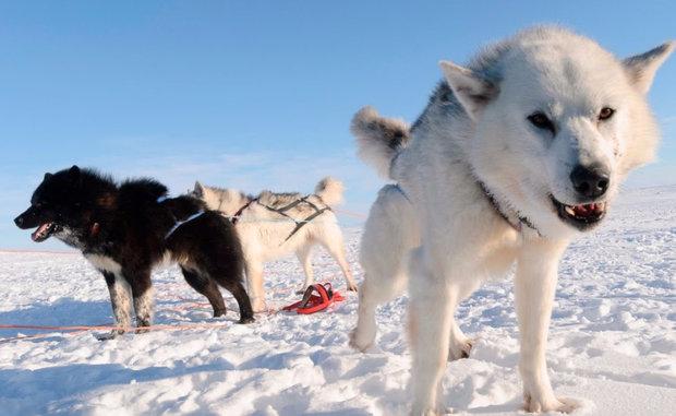 Эскимосская лайка