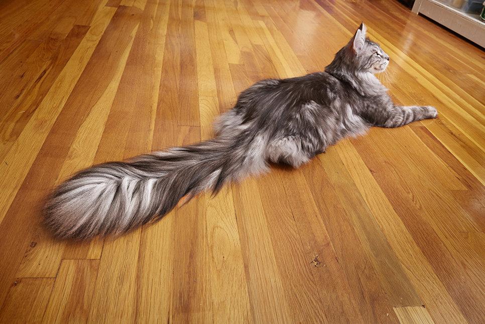 Это кот Сигнус. У него самый длинный хвост в мире