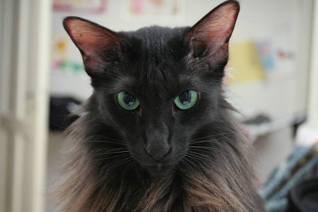 Яванские кошки любят внимание к себе и ценят время, проводимое с хозяином