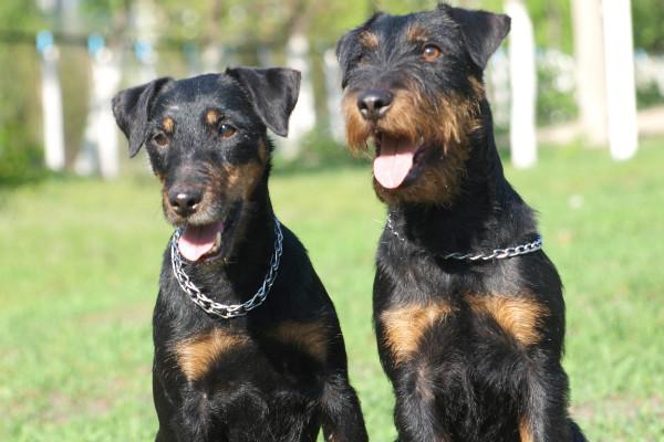 Ягдтерьеры бесстрашные и верные хозяину собаки