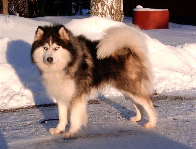 Якутская лайка не боится суровых зим