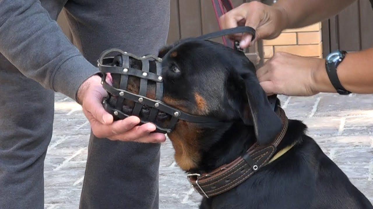 Осмотр головы собаки после примерки ошейника