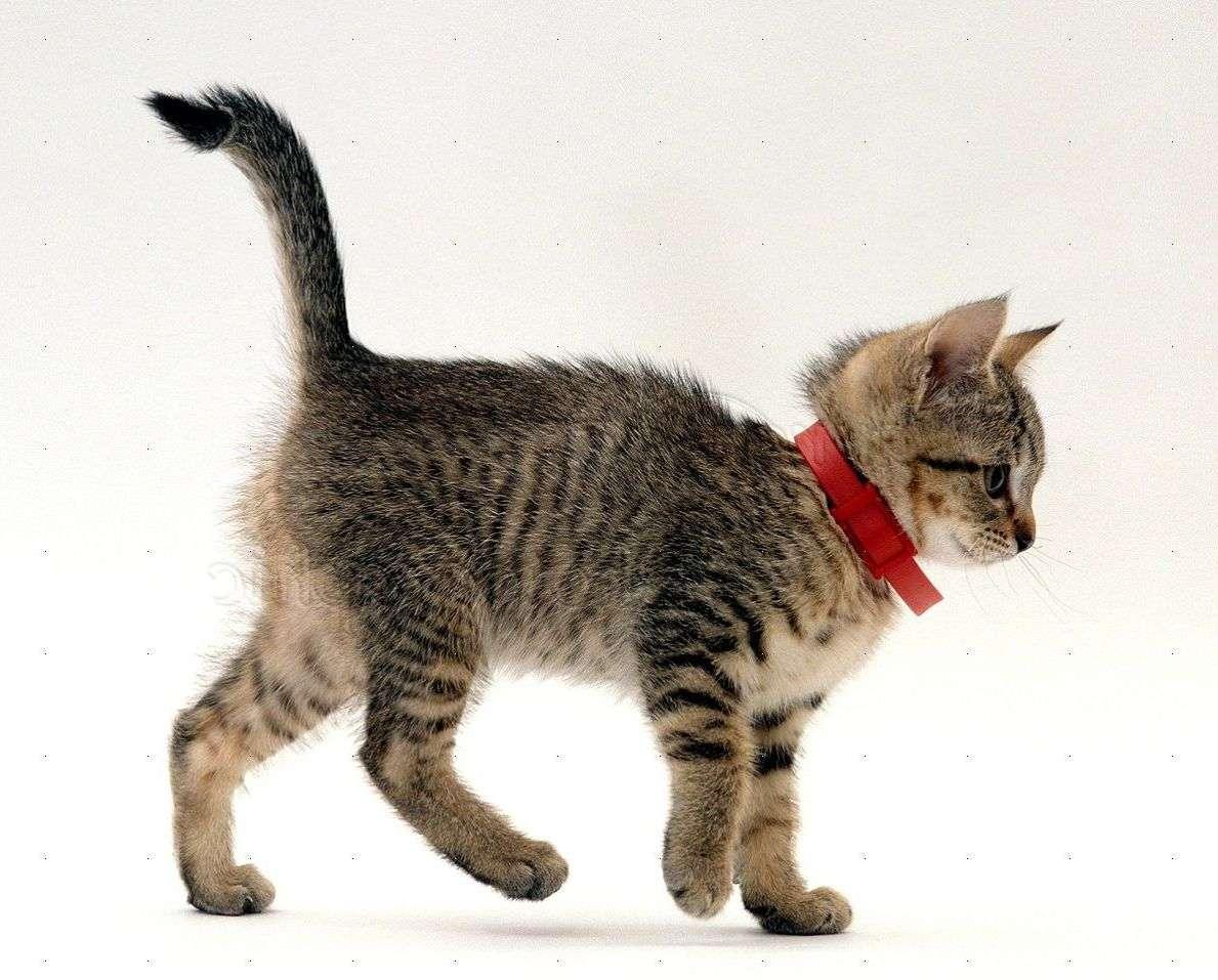Ошейник от блох у котёнка