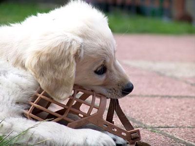 """Вначале нужно дать собаке """"познакомиться"""" с намордником"""