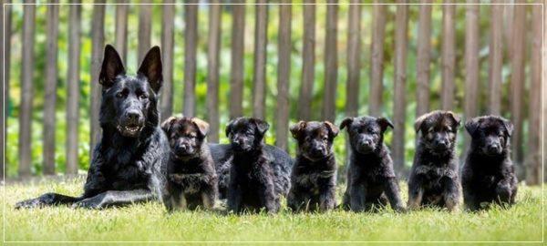 Сука НО с щенками