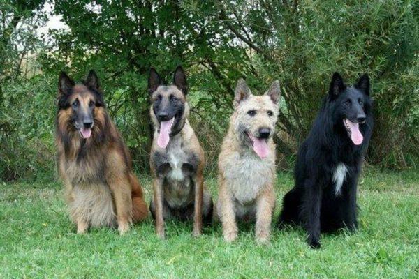 Представители бельгийской линии собак