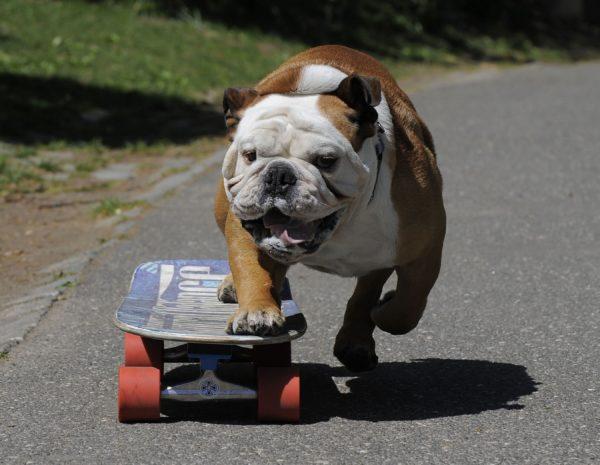 Английские бульдоги нередко сами осваивают скейтборд