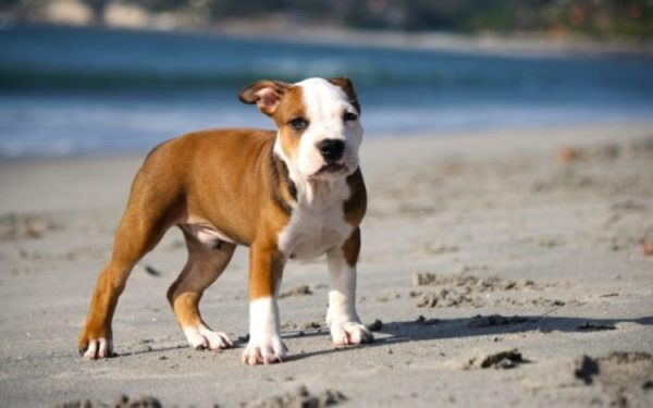 Если владелец рассчитывает на блестящую выставочную карьеру собаки, он должен сказать об этом заводчику