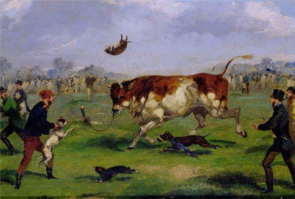 Бульдоги в бою с быком