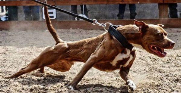 Злобу в собаках взращивали сами владельцы
