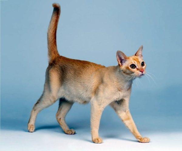 Крипторхизм делает кота похожим на кошку